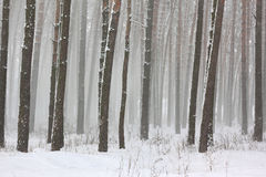 Snow covered pine trees in winter forest Stock Image