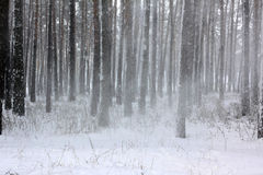 Snow covered pine trees in winter forest Royalty Free Stock Photography