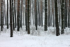 Snow covered pine trees in winter forest Stock Images