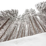 Snow covered pine trees in winter stock photography