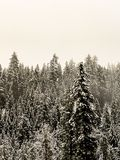 Snow covered pine trees. On a wintery, cloudy Montana day royalty free stock images