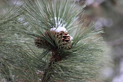Snow covered pinecone Royalty Free Stock Photography