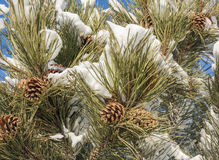 Snow Covered Pinecones Stock Photo