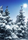 SNOW COVERED PINES. Snow CoveredPines.with copy-space royalty free stock photo