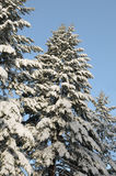 Snow Covered Pines. Against the blue sky Stock Image