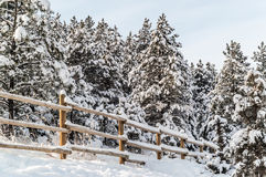 Snow-covered Pines Stock Photo