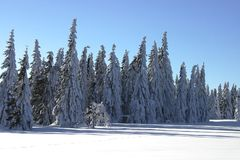Snow covered pines Stock Photos