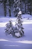 Snow covered pines. Small pine trees covered in fresh snow in the forests Royalty Free Stock Image