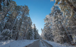 Snow covered pines - beautiful forests along rural roads. Royalty Free Stock Photography