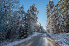 Snow covered pines - beautiful forests along rural roads. Royalty Free Stock Photo
