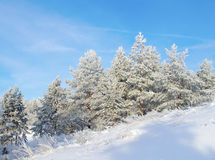 Snow covered pines on the hill Royalty Free Stock Images