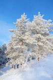 Snow covered pines on the hill Royalty Free Stock Photo
