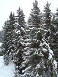 Snow scape. Snow covered pines Stock Photos