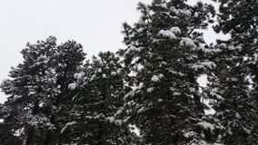 Snow Covered Pines Royalty Free Stock Images
