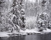 Snow covered pineSnow covered pine trees in Yellowstone National Park in Feb 2018trees in Yellowstone Natiional Park in Feb 2018. Snow covered pine trees in stock image