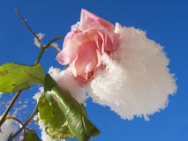 Snow covered pink rose, and blue sky. Snow covered pink rose, green leaves and blue sky Royalty Free Stock Images