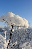 Snow covered plant. The snow covered plant in a park, Russia stock image