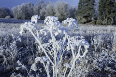 Snow covered plant. Winter landscape with a snow covered plant stock photos