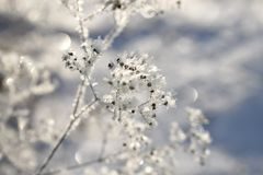 Snow-covered plant stem on a frosty day. Snow-covered plant stem with umbrellas, covered with snow crystals, on a frosty day, against the blue sky stock images