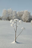 Snow covered plant twig in deep snow on background of hoary grove.  stock photography