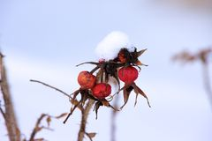 Snow covered plant Stock Images