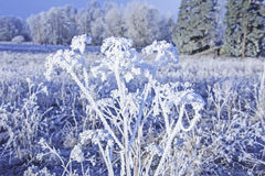 Snow covered plant. A snow covered plant - winter royalty free stock image