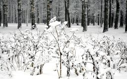 Snow-covered plants against winter forest Royalty Free Stock Image