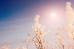Snow-covered plants at sunset Royalty Free Stock Photos