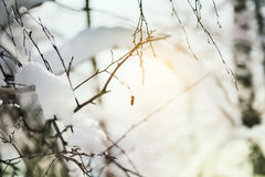 Snow-covered plants in winter forest at sunset Royalty Free Stock Image