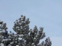 Snow-covered ponderosa pine Royalty Free Stock Image