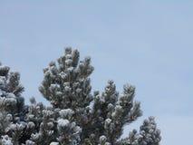 Snow-covered ponderosapijnboom Royalty-vrije Stock Afbeelding