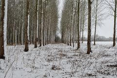 Snow covered poplar trees. Scenic view of a poplar wood covered in snow Stock Photos
