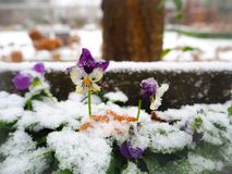 In snow covered purple pansy flower stock images