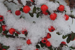 Snow-covered red berries on a branch in the garden Royalty Free Stock Photography