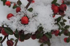 Snow-covered red berries on a branch in the garden Royalty Free Stock Image