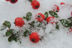 Snow-covered red berries on a branch in the garden Stock Photos