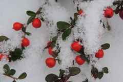 Snow-covered red berries on a branch in the garden Stock Images