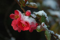 Snow covered red flowering quince Royalty Free Stock Photography