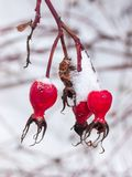 Snow covered red garden rose hips gone to seed. royalty free stock photos