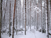 Snow-covered red trunks of pine and fir trees of winter forest Stock Image