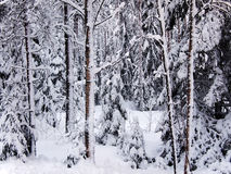 Snow-covered red trunks of pine and fir trees of winter forest in frosty mist Stock Image