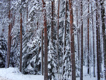 Snow-covered red trunks of pine and fir trees of winter forest in frosty mist Royalty Free Stock Photo