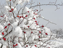 Snow Covered Red Wild Briers. Snow covered wild briers bush with bright red hips in a sunny day Royalty Free Stock Photo