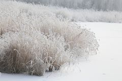 Snow-covered reed by the river stock images