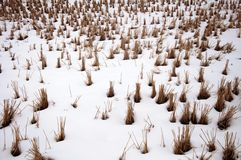 Snow-covered rice stem Stock Images