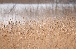 Snow-covered riet Stock Afbeelding