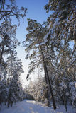 Snow-covered road in a pine forest Royalty Free Stock Image