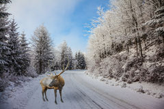 The snow-covered road and red deer Royalty Free Stock Image