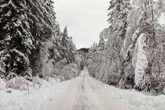 Snow covered road in a Scandinavian pinewood forest with snowy forest floor and pine tree stems, Pinus sylvestris. Snow covered road with car tracks in a Stock Photo
