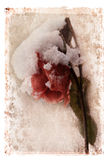 Snow Covered Rose. Wilting snow covered rose digitally edited to resemble a faded old photograph royalty free illustration